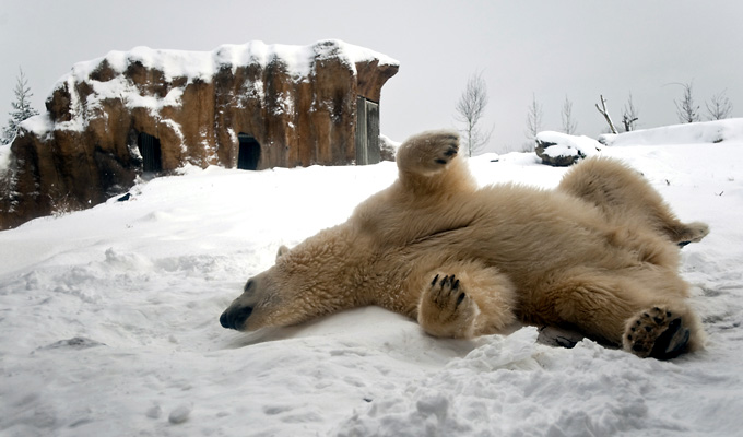 kielegult jegesmedve